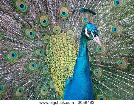 Male Peacock displaying his full