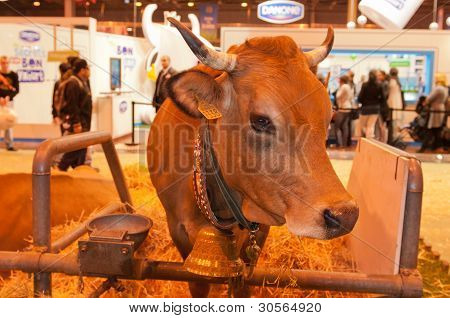 Paris - February 26: Tarentaise Cow At The Paris International Agricultural Show 2012 On February 26