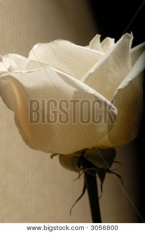 Weißen Blütenblättern