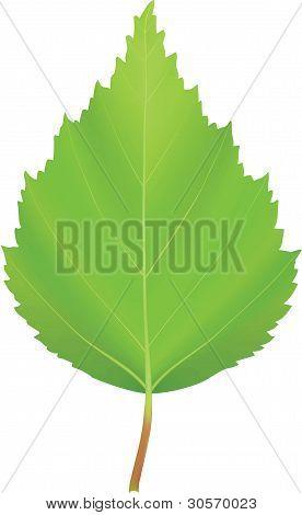 Vector Green Leaf Birch