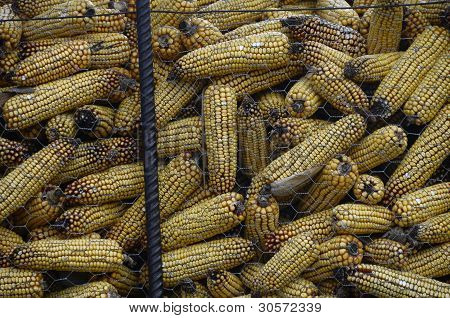Ears of corn drying
