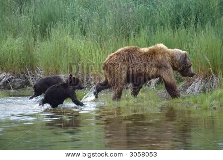 Grizzly con cachorros