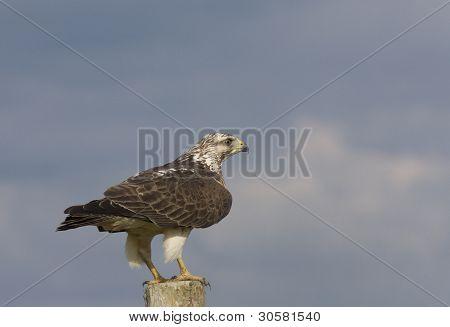 Ferruginous Hawk Perched On Post