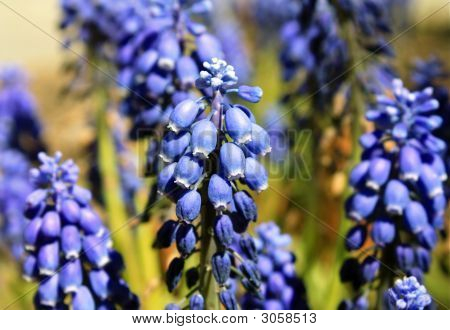 Grape Hyacinth Flower