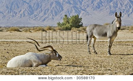 Addax in Hai-Bar Yotvata nature reserve, 25 km from Eilat, Israel
