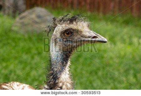 African Ostrich Head