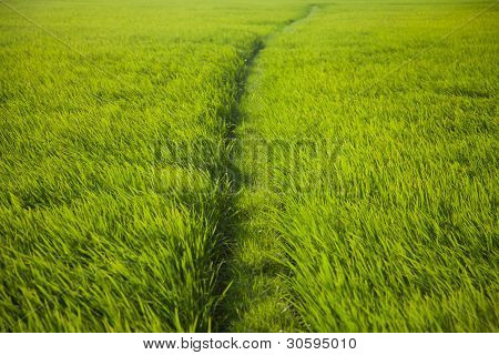 Long Rice Grass