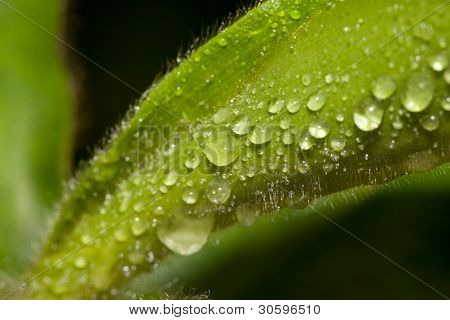 water drops on a velvety leaf