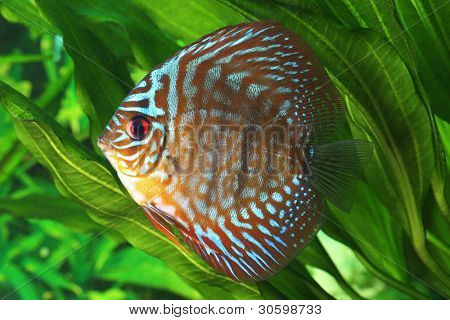 Symphysodon discus fish in an aquarium