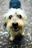 Small Shaggy Dog Looking Into Camera, Cute Snout At Home Pet poster