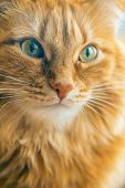 Portrait of Brown Cat, Red Tabby Male Cat, Ginger Long Hair Cat poster