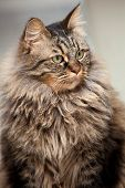 Maine Coon portrait