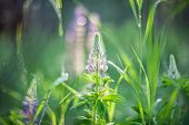 A Field Of Lupins With Pink Flowers. Purple And Pink Lupin In The Meadow. Pink Inflorescences Of Lup poster