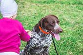 The Baby Strokes The Dog. German Shorthaired Pointer And Little Girl In The Nature poster