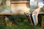 picture of bee keeping  - A metal bee smoker with bellows being squeezed by a hand in front of a wooden hive on a stand - JPG