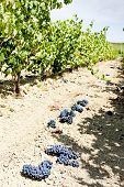 vineyard with blue grapes, La Rioja, Spain