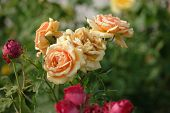 Yellow Fading Roses In The Garden Closeup poster