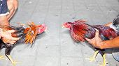 image of fighting-rooster  - Traditional cock fighting in Bali - JPG