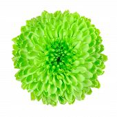 foto of lime-blossom  - Lime Green Pom Pom Chrysanthemum Flower Isolated on White Background - JPG