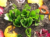 foto of rich soil  - New autumn crocus leaves push upward from rich soil formed by compost - JPG