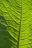 picture of chloroplast  - sunny illuminated full frame abstract green leaf detail - JPG