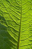 stock photo of chloroplast  - sunny illuminated full frame abstract green leaf detail - JPG