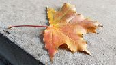 Beautiful Maple Leaf Atop Rough Textured Cement Surface. Single Fall Leaf Closeup. Natural Orange Co poster