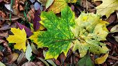 Closeup Of Green Maple Leaf With Yellow Edges And Maple Leaf Damaged By Insects. Autumn Yellow Leave poster