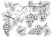 Grape Sketch. Floral Pictures Wine Grapes With Leaves And Tendrils Vineyard Engraving Vector Hand Dr poster
