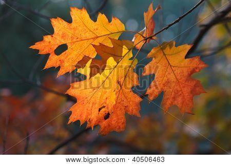 Orange Oak Autumn Leaves
