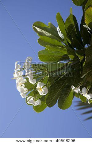 Tropical Flowers From Deciduous Tree, Plumeria