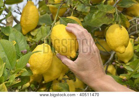 Farmer Harvesting Ripe Lemons