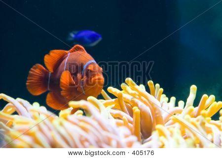 Clownfish On A Sea Anemone