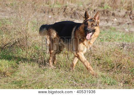 German Shepard Dog