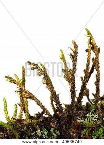Moss Lichen And Algae On Twig, Macro Isolated Over White Background