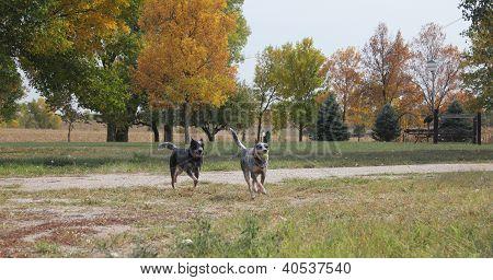 Blue Heeler Dogs running on the farm