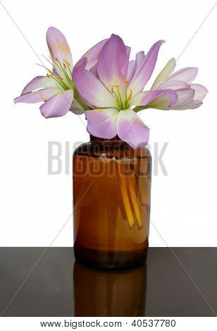 lila flowers of autumn colchicum plant