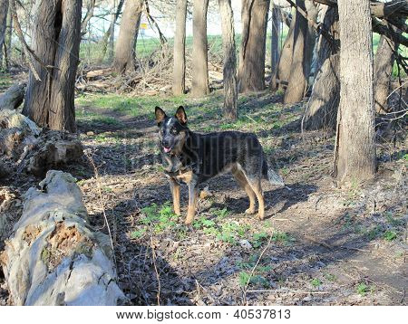 Blue heeler dog in a forest