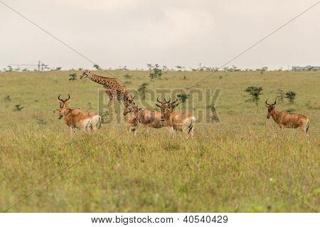 A giraffe grazing with impalas