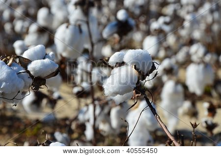 Cotton In The Field