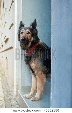 Longing Dog