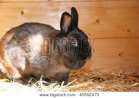 Dark Brown Dwarf Rabbit