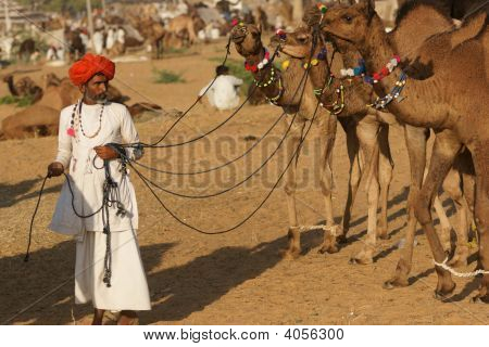 Man With Camels At The Pushkar Fair