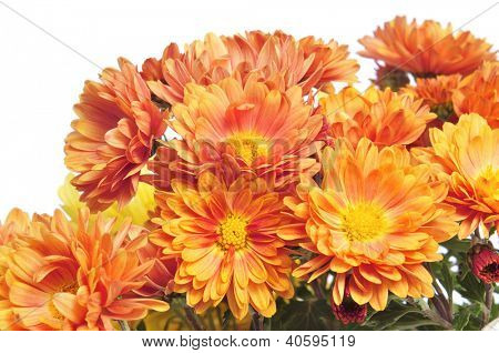 closeup od some orange gerbera daisies on a white background