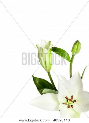 White Lily Flowers Isolated
