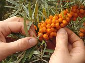 picture of sea-buckthorn  - hands cropping sea buckthorn berries from the branch - JPG