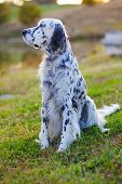 stock photo of english setter  - English Setter - JPG