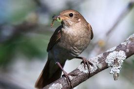 pic of nightingale  - Luscinia luscinia - JPG