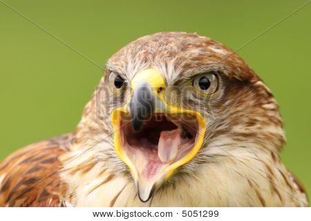 Ferruginous Hawk (butea Regalis) Screaming