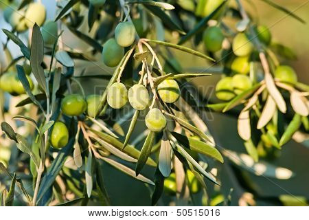 Young Olives On A Branch